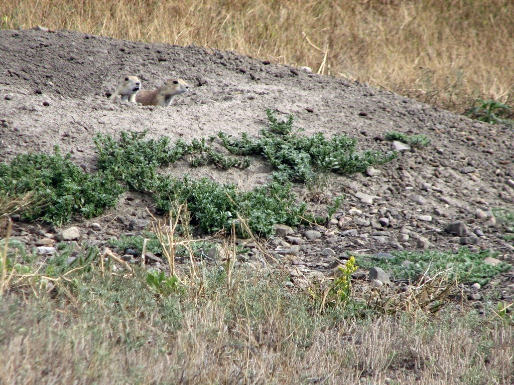Black tail prarie dogs at Greycliff Prairiedog state park