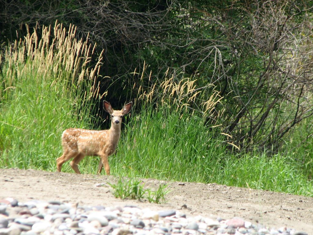 Deer fawn on the river bank